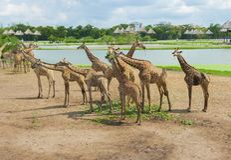 Jiraffe im Thailand-Zoo stockfotos