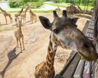 Jiraffe im Thailand-Zoo lizenzfreies stockfoto