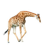 Jiraffe isolated on white Royalty Free Stock Images