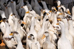 Jiu Chi Town, China: Caged White Ducks. White ducks in a holding pen await their demise at a local slaughter house in Jiu Chi Town, Sichuan province, China (Lee royalty free stock image