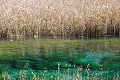 Jiuzhaigou reed lake Royalty Free Stock Image