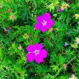 Jjk för blommarosa färggräsplan Arkivbilder