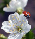 Joaninha em flores da mola imagem de stock royalty free