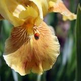 Joaninha em Iris Blossom Petal farpada amarela na luz solar da mola Fotos de Stock Royalty Free