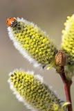 Joaninha em uma flor do salgueiro Fotos de Stock Royalty Free