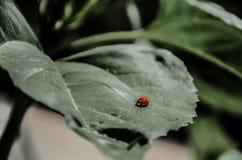 Joaninha em uma grande folha verde que vive na natureza Imagens de Stock