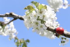 Joaninha na árvore de cereja de florescência imagens de stock