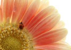 Joaninha na flor Foto de Stock Royalty Free