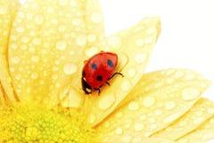 Joaninha na flor amarela imagens de stock