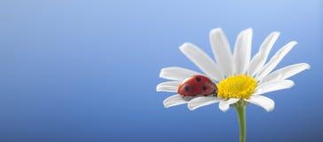 Joaninha na flor da camomila Foto de Stock