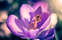 Joaninha na flor do açafrão Fotografia de Stock