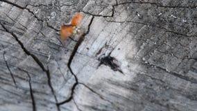 Joaninha na madeira Joaninha vermelho que anda em uma parte do Coccinellidae de madeira filme