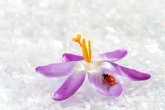 Joaninha no açafrão da flor Imagens de Stock