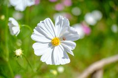 Joaninha no branco do cosmos da flor Fotografia de Stock Royalty Free