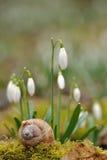 Joaninha no escudo do caracol com snowdrops Imagens de Stock Royalty Free