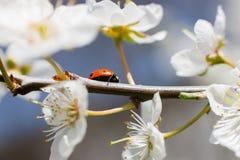 Joaninha nos ramos de uma árvore de fruto de florescência Imagens de Stock