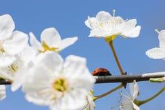 Joaninha nos ramos de uma árvore de fruto de florescência Imagens de Stock Royalty Free