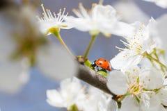 Joaninha nos ramos de uma árvore de fruto de florescência Fotografia de Stock Royalty Free