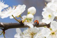 Joaninha nos ramos de uma árvore de fruto de florescência Foto de Stock
