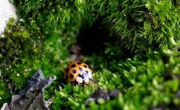 Joaninha pequeno na caverna do musgo Fotografia de Stock Royalty Free