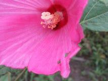 Joaninha que esconde perto do centro do wildflower cor-de-rosa do hibiscus fotos de stock royalty free