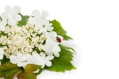 Joaninha vermelho em uma flor branca foto de stock royalty free