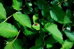 Joaninha vermelho no folhas verdes frescas no fundo verde fotografia de stock