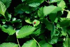 Joaninha vermelho no folhas verdes frescas no fundo verde imagem de stock