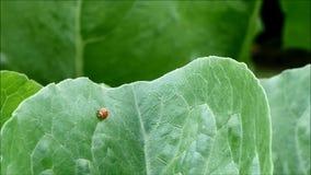 Joaninha vermelho ocupado que anda rapidamente na folha vegetal verde na exploração agrícola orgânica vídeos de arquivo