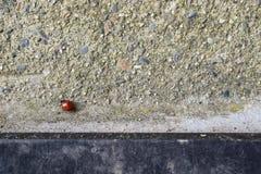 Joaninha vermelho que anda no cimento cinzento foto de stock royalty free