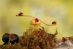 Joaninhas do close up no cogumelo no prado Imagens de Stock Royalty Free