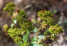 Joaninhas vermelhos em uma planta Fotografia de Stock Royalty Free