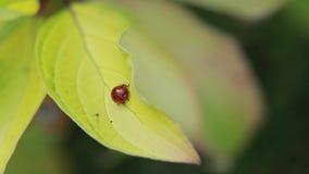 Joaninhas vermelhos nas folhas amarelas verdes filme