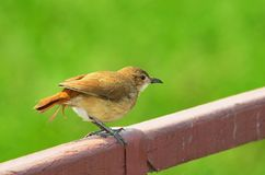 Joao-de-barro bird over a fence with a beautiful green blurred b Stock Photo