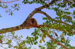 Joao de Barro (furnarius rufus) nest. Tree with Joao de Barro (furnarius rufus) nest royalty free stock photo