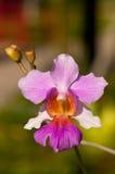joaquim makro- chybienie orchidea Vanda Obraz Royalty Free