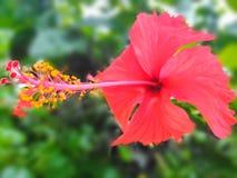 Joba-phool, Hibiscusblumenunschärfehintergrund-Tapetenbild stockbilder