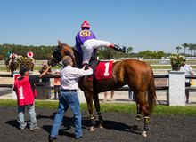 A young racehorse being mounted before a race at tampa Royalty Free Stock Images