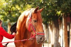 Jockey checks horse harness Royalty Free Stock Photos