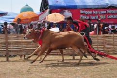 Jockey emballant des taureaux à la course de Madura Taureau, Indonésie Photographie stock libre de droits