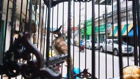 Jocosus del pycnonotus del pájaro del canto en jaula en Tailandia almacen de video