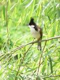 Jocosus di Pycnonotus Fotografia Stock Libera da Diritti