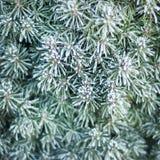 jodła marznąć igły mroźna ranek natury opadu śniegu zima Obraz Royalty Free