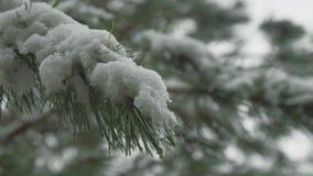 Jodła Rozgałęzia się w śniegu zbiory wideo