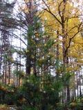 Jodła w kolorów żółtych liściach w jesieni Zdjęcie Royalty Free