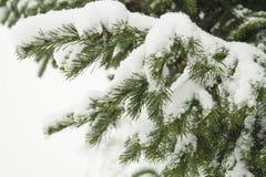 Jodły gałąź, śnieg Zdjęcia Stock