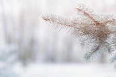 Jodły gałąź w hoar oszroniejącym na zimnym ranku Zdjęcie Royalty Free