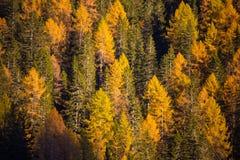 Jodły i modrzewie w jesień czasie obraz stock