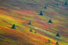 Jodły na zboczu przy jesienią Obrazy Royalty Free