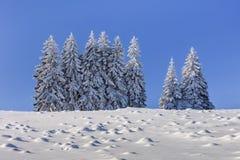 Jodły w zimie zdjęcia royalty free